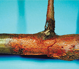 Chestnut Blight